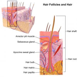 Blausen_0438_HairFollicleAnatomy_02