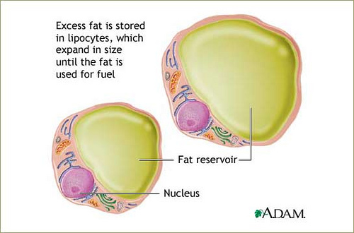 adam adipocytes