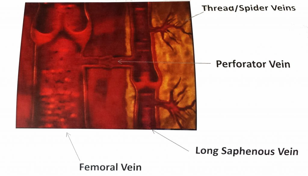 vein anatomy